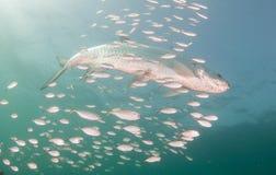 Заплывание Tarpon в океане окруженном более малыми рыбами Стоковые Изображения RF