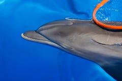 Заплывы афалина Стоковая Фотография RF