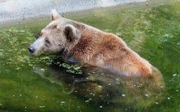 Заплывы бурого медведя в воде Стоковое Изображение