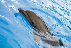 Заплывы дельфина в бассейне Стоковое фото RF