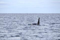 Заплывы дельфин-касатки в ледовитом море Стоковые Изображения RF