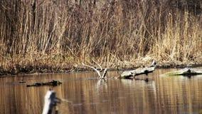 Заплывы и пикирования утки в реке видеоматериал