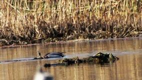 Заплывы и пикирования утки в реке акции видеоматериалы