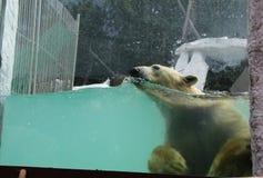 Заплывы полярного медведя стоковая фотография rf