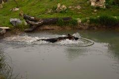 Заплывы собаки немецкой овчарки в пруде Стоковое фото RF