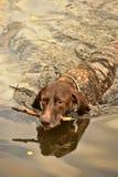 Заплывы собаки Deutsch Kurzhaar Стоковые Изображения RF