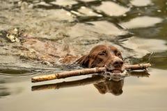 Заплывы собаки Deutsch Kurzhaar Стоковые Изображения