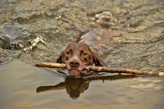 Заплывы собаки Deutsch Kurzhaar Стоковое фото RF