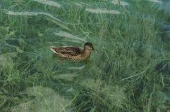 Заплывы утки в озере Стоковые Изображения