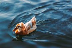 Заплывы утки в озере Стоковое Изображение