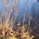 Заплывы утки в пруде, sunlit Стоковые Изображения RF
