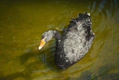 Заплывы черного лебедя Стоковое Фото