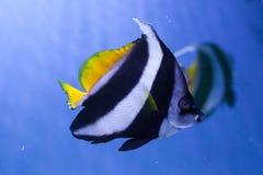 Заплывы bannerfish Красного Моря Стоковое Фото