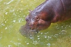 Заплыв бегемота в реке Стоковая Фотография