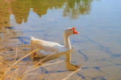 Заплыв гусынь в озере Стоковое Изображение RF