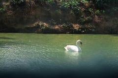 Заплыв лебедя в воде Стоковые Изображения
