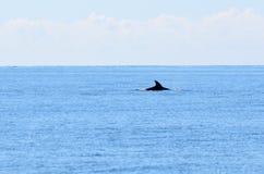Заплыв дельфина на море Стоковые Изображения RF