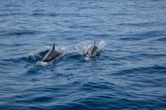 Заплыв 2 дельфинов Стоковое Изображение