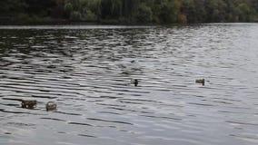 Заплыв диких уток в воде видеоматериал