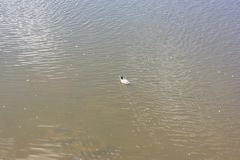 Заплыв диких уток в реке Стоковые Фотографии RF