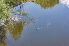 Заплыв диких уток в реке Стоковое Фото
