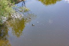 Заплыв диких уток в реке Стоковая Фотография