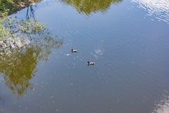 Заплыв диких уток в реке Стоковые Фото