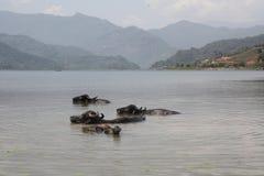 Заплыв индийского буйвола в озере в Pokhara, Непале Стоковое Изображение
