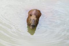 Заплыв капибары в воде Стоковая Фотография RF