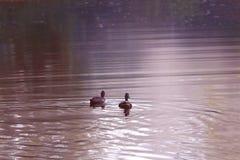 Заплыв 2 коричневый уток на воде Стоковое Изображение