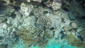 Заплыв рыб среди кораллов на рифе видеоматериал