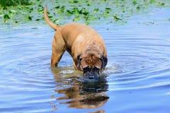 Заплыв собаки Bullmastiff Стоковое фото RF