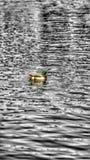 Заплыв утки стоковая фотография