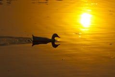 Заплыв уток в озере Стоковое фото RF