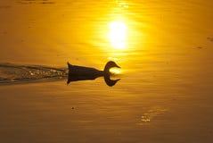 Заплыв уток в озере Стоковые Изображения RF