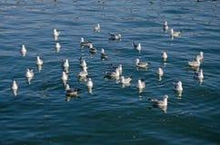 Заплыв чаек в море Стоковое Фото