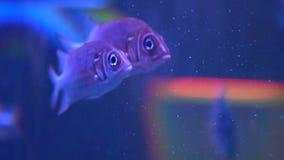 Заплыв Pisces в аквариуме Красивые рыбы в замедленном движении Diadema sargocentron рыб видеоматериал