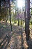 Зарево в древесинах Стоковые Изображения