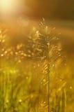зарево золотистое Стоковая Фотография RF