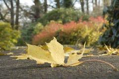 заройте клен листьев Стоковое Изображение RF