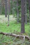 Заросль в сосновом лесе Стоковое Изображение RF