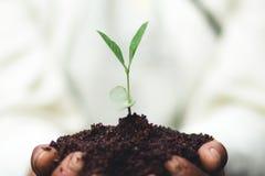 Засадите дерево почва и саженцы в ` s бабушки вручают стоковые фото