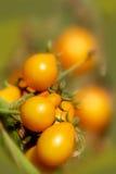 засадите желтый цвет томатов Стоковое Изображение RF