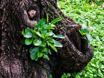 Засадите расти от большого старого бутона дерева Стоковое Изображение