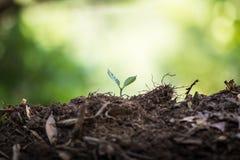 Засадите саженцы кофе завода естественной предпосылки дерева в зеленом цвете природы свежем Стоковые Изображения RF