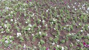 Засаженные цветки в flowerbed акции видеоматериалы
