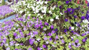 Засаженные цветки в flowerbed сток-видео