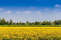 Засаженные цветки ноготк Стоковые Фото