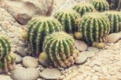 Засаженный кактус Стоковое Изображение RF