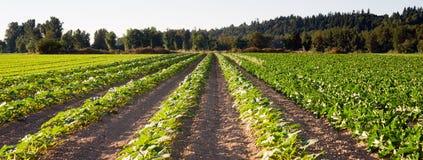 Засаженный урожай завода поля фермы травы строк аграрный стоковое изображение rf